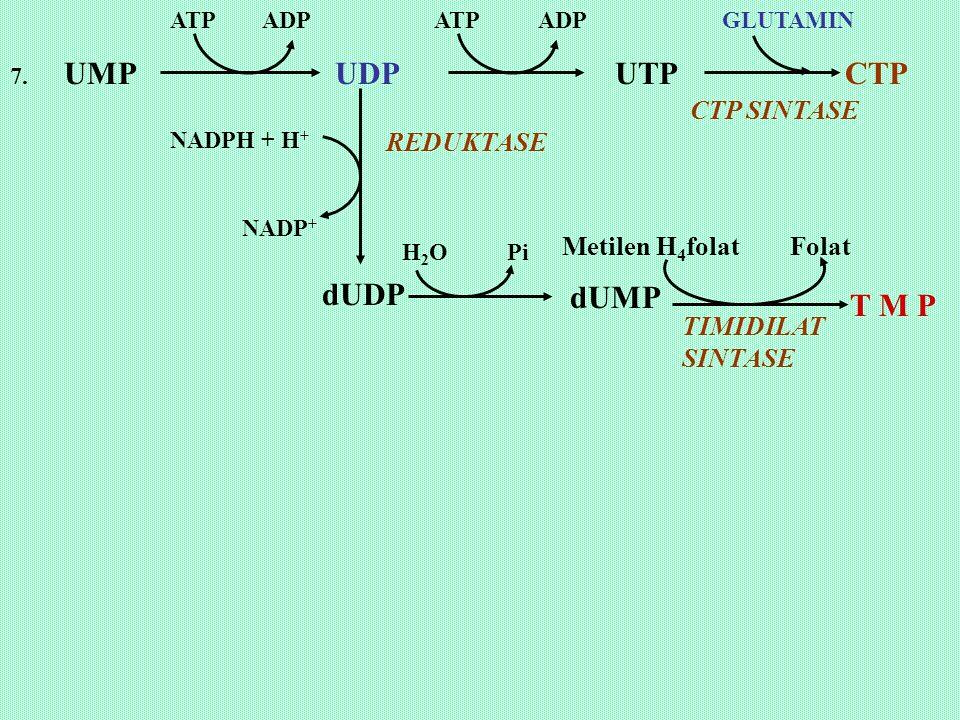 7. UMP UDP UTP CTP ATP ADP GLUTAMIN CTP SINTASE dUDP dUMP T M P NADPH + H + NADP + H 2 O Pi Metilen H 4 folat Folat TIMIDILAT SINTASE REDUKTASE