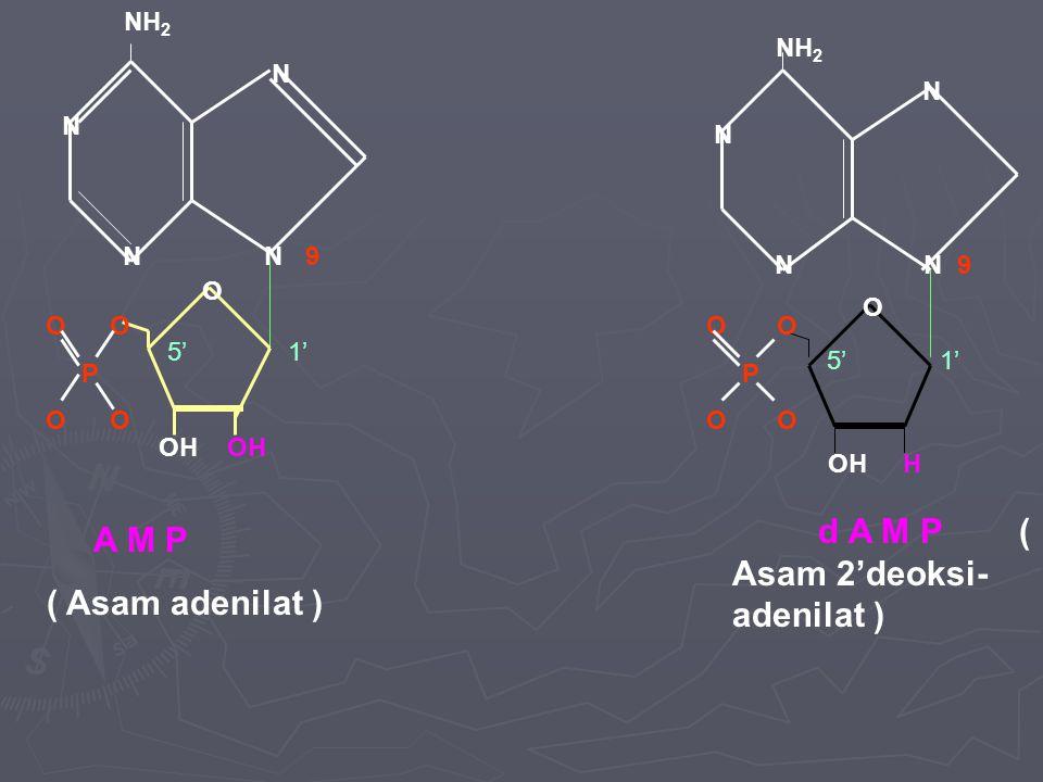 NH 2 N N N 9 N O O P O OH N N 9 N N NH 2 O OH H O O P O O A M P ( Asam adenilat ) d A M P ( Asam 2'deoksi- adenilat ) 5' 1'