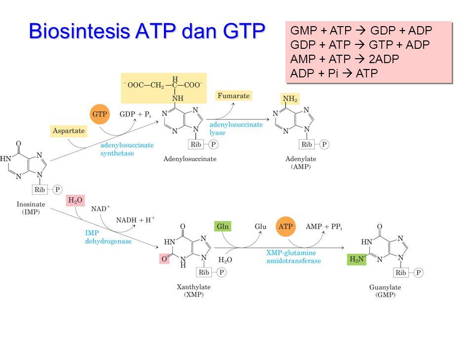 Biosintesis ATP dan GTP GMP + ATP  GDP + ADP GDP + ATP  GTP + ADP AMP + ATP  2ADP ADP + Pi  ATP GMP + ATP  GDP + ADP GDP + ATP  GTP + ADP AMP +