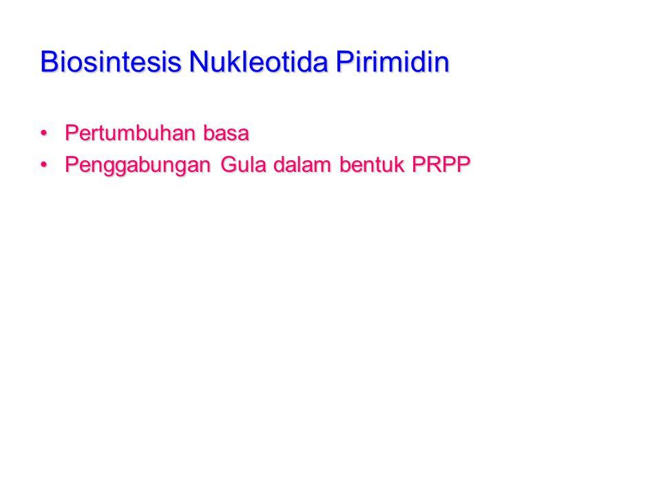 Biosintesis Nukleotida Pirimidin Pertumbuhan basaPertumbuhan basa Penggabungan Gula dalam bentuk PRPPPenggabungan Gula dalam bentuk PRPP