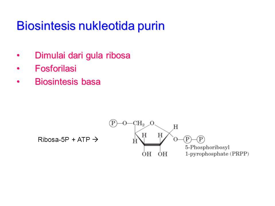 Biosintesis nukleotida purin Dimulai dari gula ribosaDimulai dari gula ribosa FosforilasiFosforilasi Biosintesis basaBiosintesis basa Ribosa-5P + ATP
