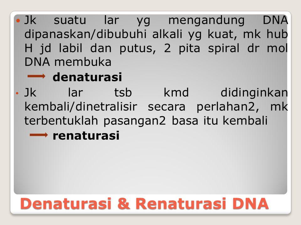 Denaturasi & Renaturasi DNA Jk suatu lar yg mengandung DNA dipanaskan/dibubuhi alkali yg kuat, mk hub H jd labil dan putus, 2 pita spiral dr mol DNA m