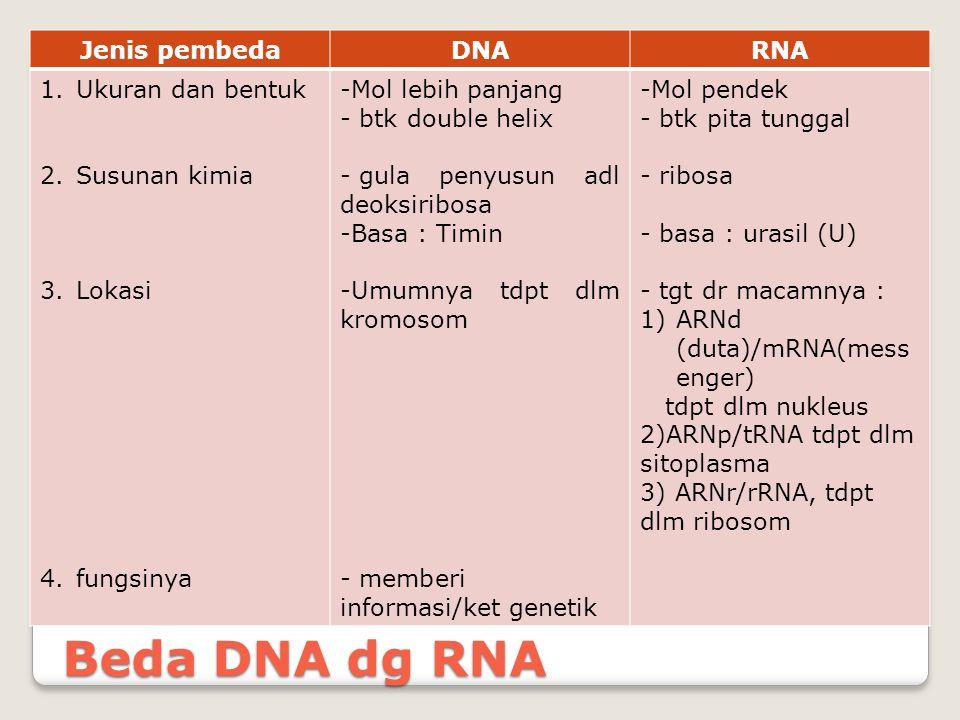 Beda DNA dg RNA Jenis pembedaDNARNA 1.Ukuran dan bentuk 2.Susunan kimia 3.Lokasi 4.fungsinya -Mol lebih panjang - btk double helix - gula penyusun adl