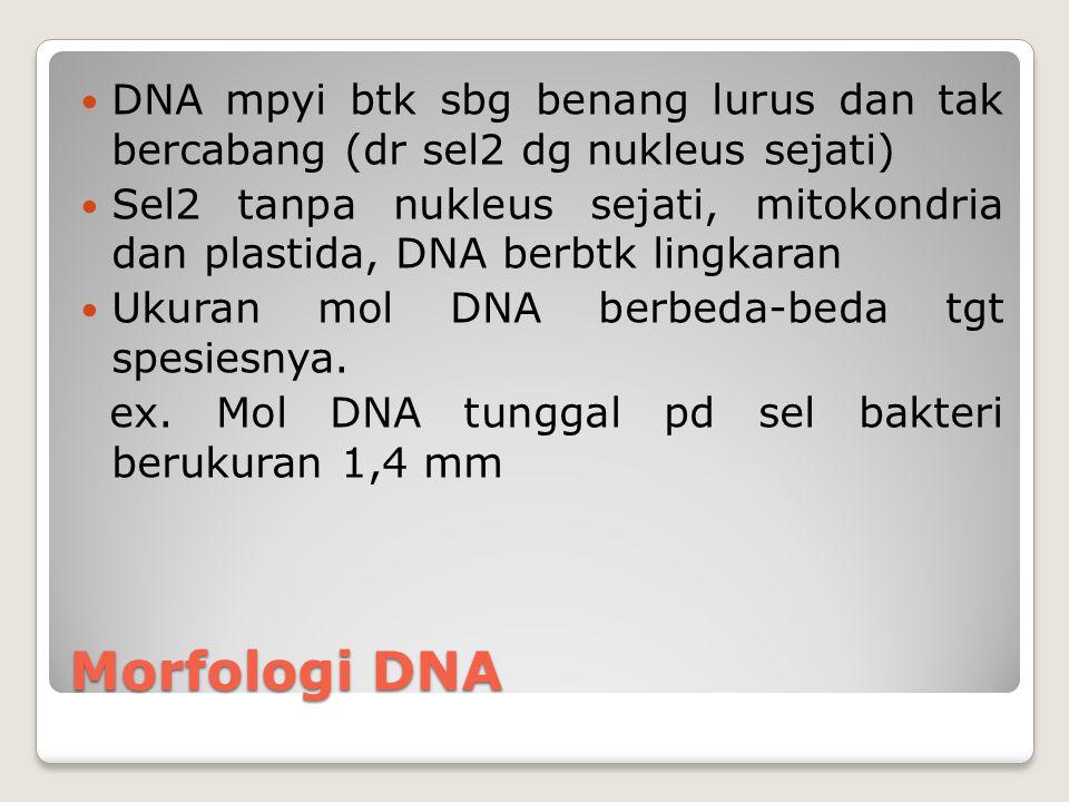 Morfologi DNA DNA mpyi btk sbg benang lurus dan tak bercabang (dr sel2 dg nukleus sejati) Sel2 tanpa nukleus sejati, mitokondria dan plastida, DNA ber