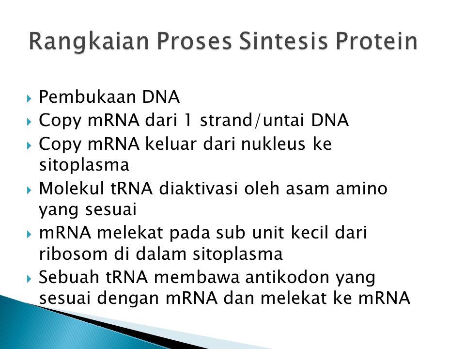  Pembukaan DNA  Copy mRNA dari 1 strand/untai DNA  Copy mRNA keluar dari nukleus ke sitoplasma  Molekul tRNA diaktivasi oleh asam amino yang sesua