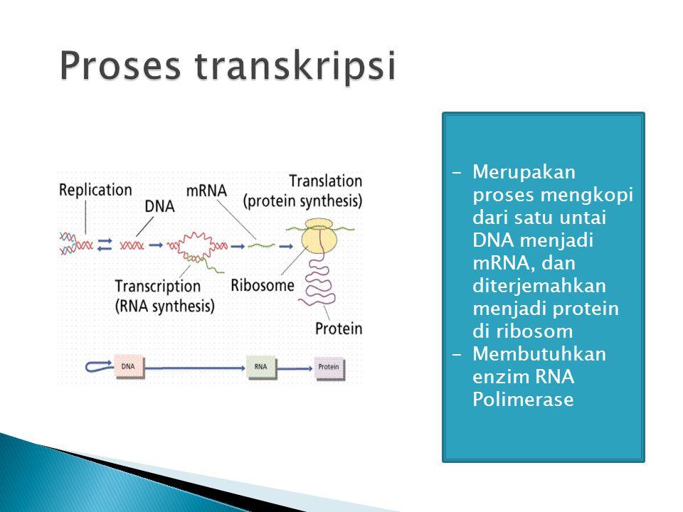 -Merupakan proses mengkopi dari satu untai DNA menjadi mRNA, dan diterjemahkan menjadi protein di ribosom -Membutuhkan enzim RNA Polimerase