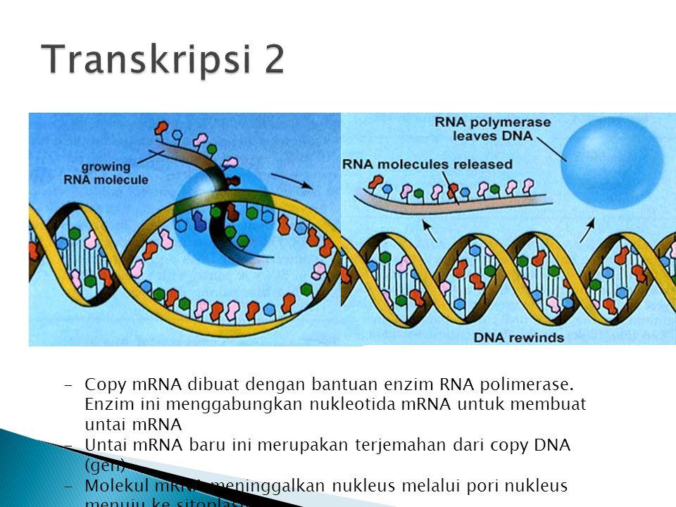 -Copy mRNA dibuat dengan bantuan enzim RNA polimerase. Enzim ini menggabungkan nukleotida mRNA untuk membuat untai mRNA -Untai mRNA baru ini merupakan