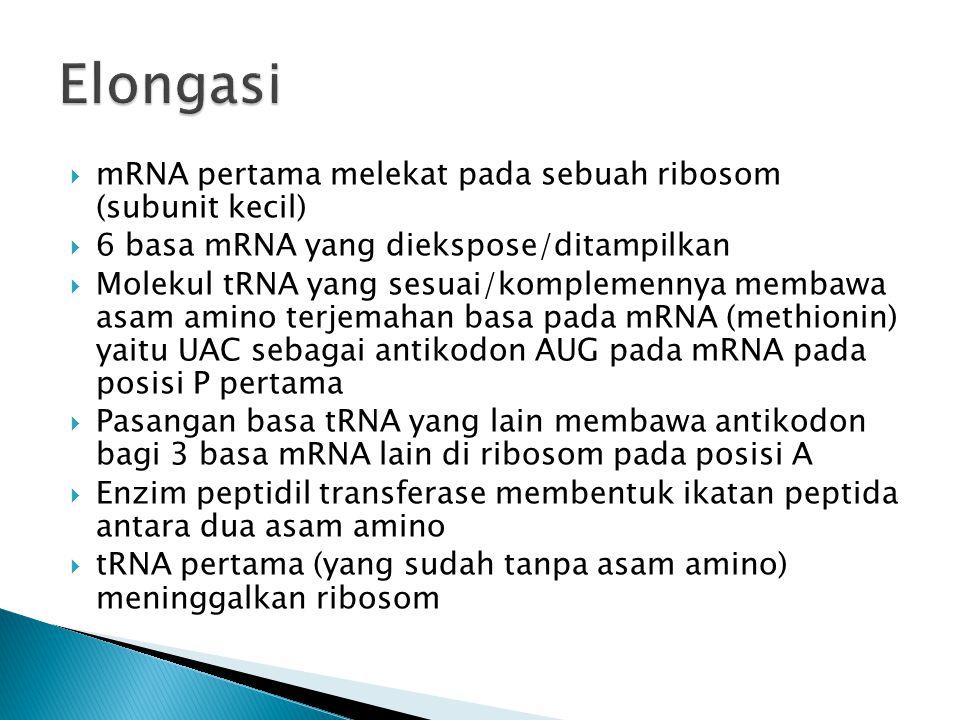  mRNA pertama melekat pada sebuah ribosom (subunit kecil)  6 basa mRNA yang diekspose/ditampilkan  Molekul tRNA yang sesuai/komplemennya membawa as