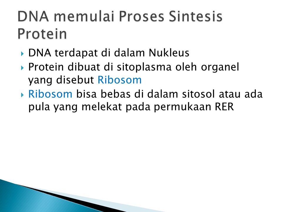  DNA terdapat di dalam Nukleus  Protein dibuat di sitoplasma oleh organel yang disebut Ribosom  Ribosom bisa bebas di dalam sitosol atau ada pula y