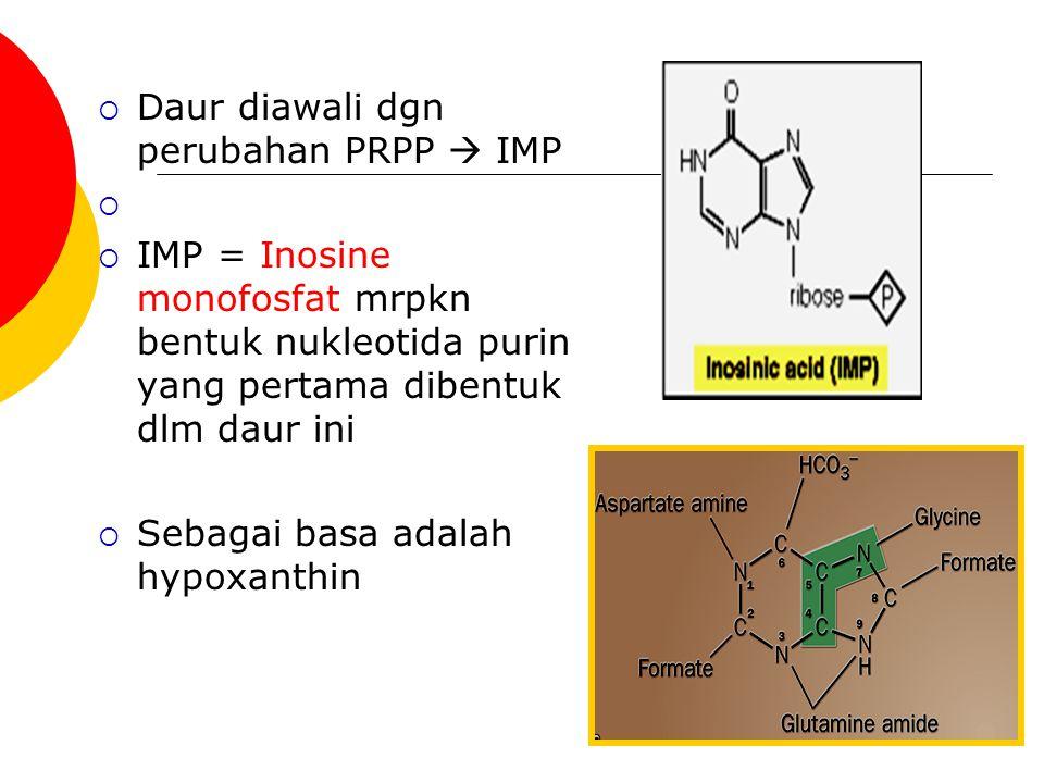  Daur diawali dgn perubahan PRPP  IMP   IMP = Inosine monofosfat mrpkn bentuk nukleotida purin yang pertama dibentuk dlm daur ini  Sebagai basa a