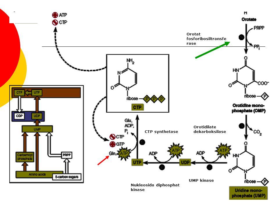 Orotat fosforibosiltransfe rase Orotidilate dekarboksilase UMP kinase CTP synthetase Nukleosida diphosphat kinase