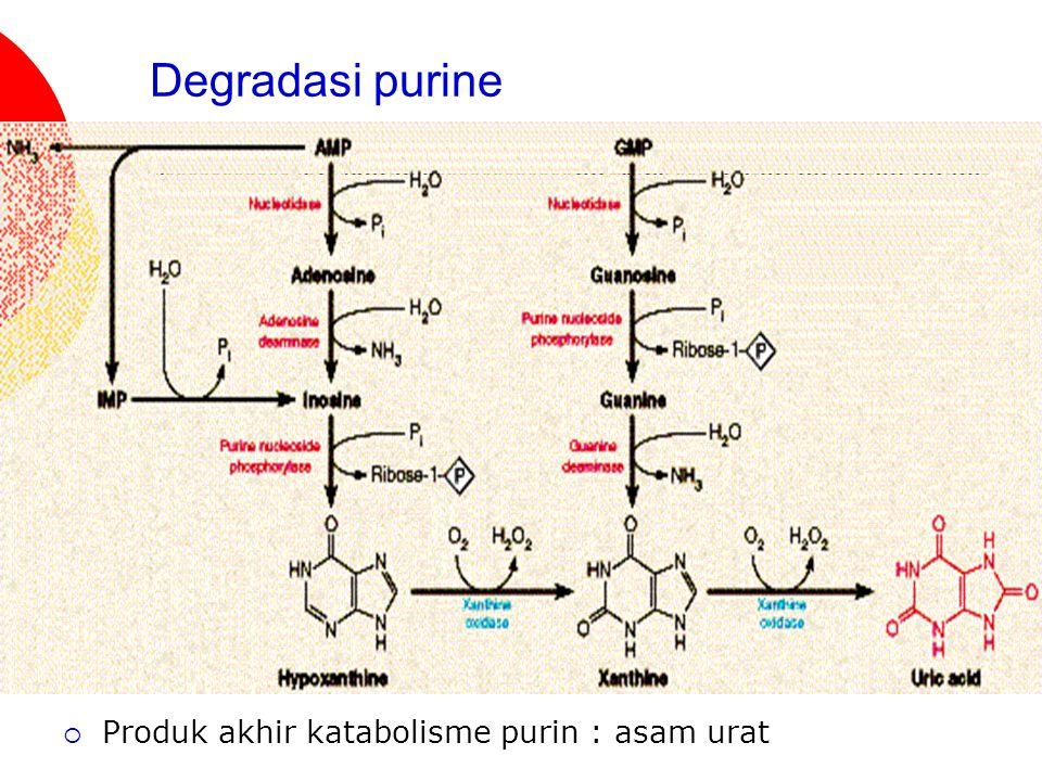 Degradasi purine  Produk akhir katabolisme purin : asam urat