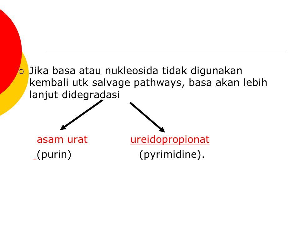  Jika basa atau nukleosida tidak digunakan kembali utk salvage pathways, basa akan lebih lanjut didegradasi asam urat ureidopropionatureidopropionat