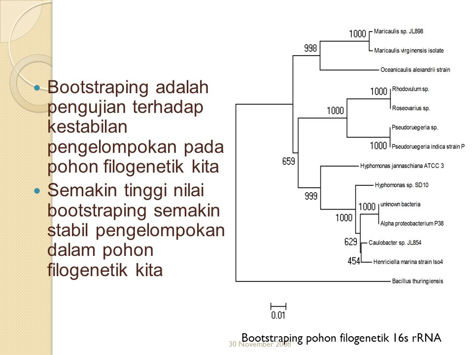 Bootstraping adalah pengujian terhadap kestabilan pengelompokan pada pohon filogenetik kita Semakin tinggi nilai bootstraping semakin stabil pengelomp