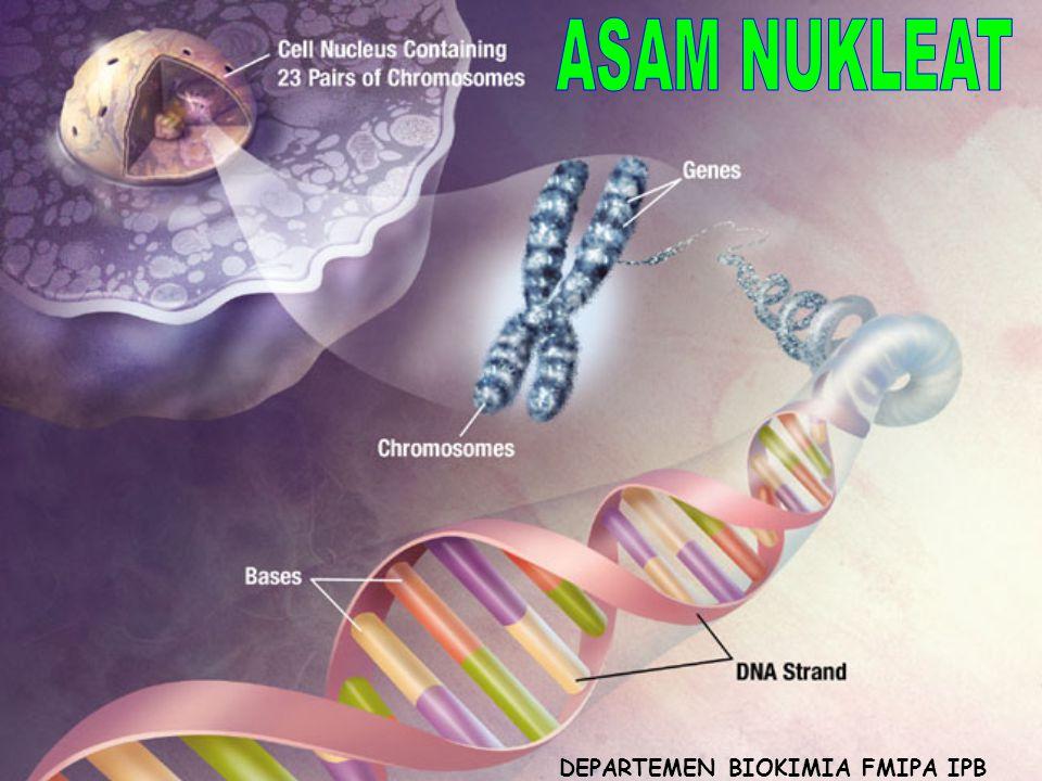 Asam nukleat merupakan makromolekul dlm inti sel yg mengandung semua informasi untuk aktivitas maupun reproduksi sel.