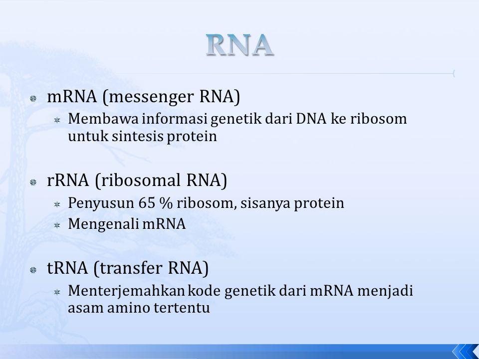  mRNA (messenger RNA)  Membawa informasi genetik dari DNA ke ribosom untuk sintesis protein  rRNA (ribosomal RNA)  Penyusun 65 % ribosom, sisanya