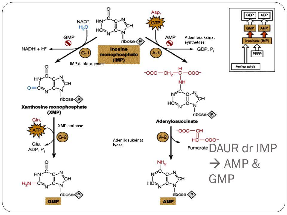 DAUR dr IMP  AMP & GMP IMP dehidrogenase XMP aminase Adenilosuksinat synthetase Adenilosuksinat lyase