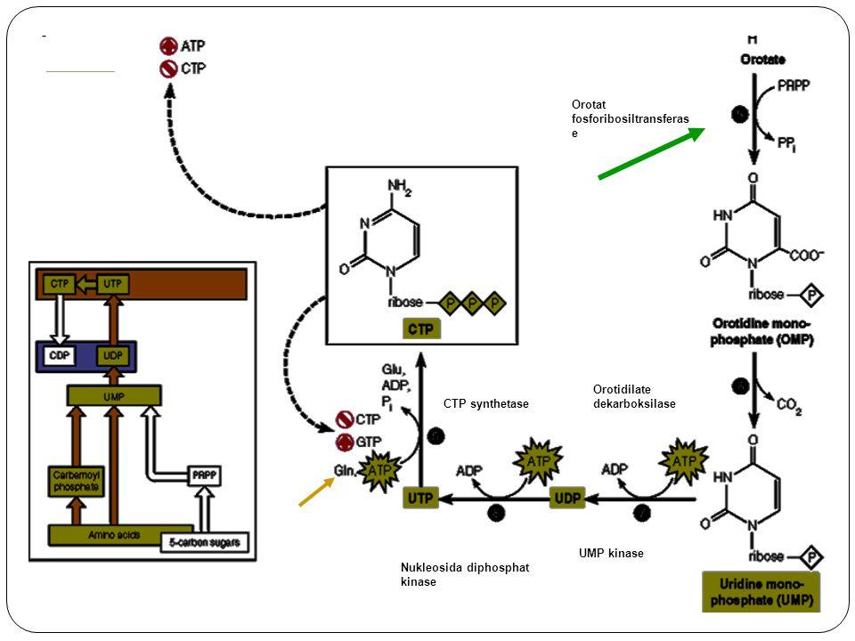 Orotat fosforibosiltransferas e Orotidilate dekarboksilase UMP kinase CTP synthetase Nukleosida diphosphat kinase