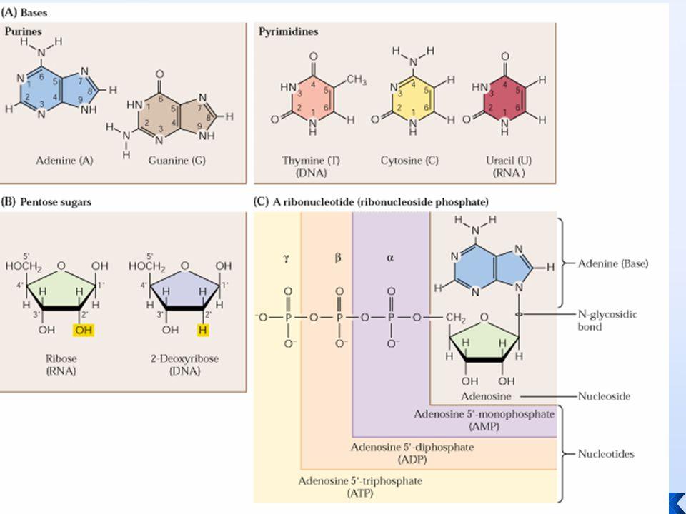 Daur diawali dgn perubahan PRPP  IMP IMP = Inosine monofosfat mrpkn bentuk nukleotida purin yang pertama dibentuk dlm daur ini Sebagai basa adalah hypoxanthin