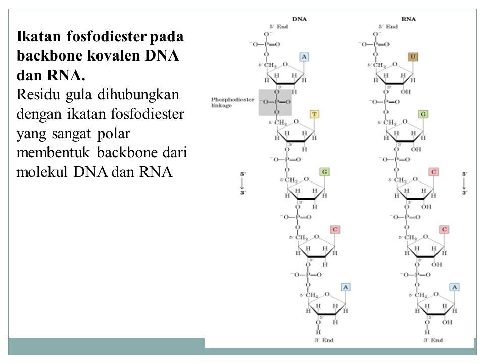 Ikatan fosfodiester pada backbone kovalen DNA dan RNA. Residu gula dihubungkan dengan ikatan fosfodiester yang sangat polar membentuk backbone dari mo