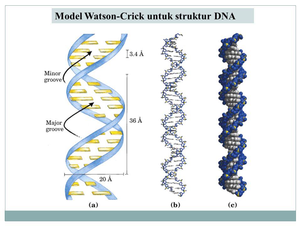 Model Watson-Crick untuk struktur DNA