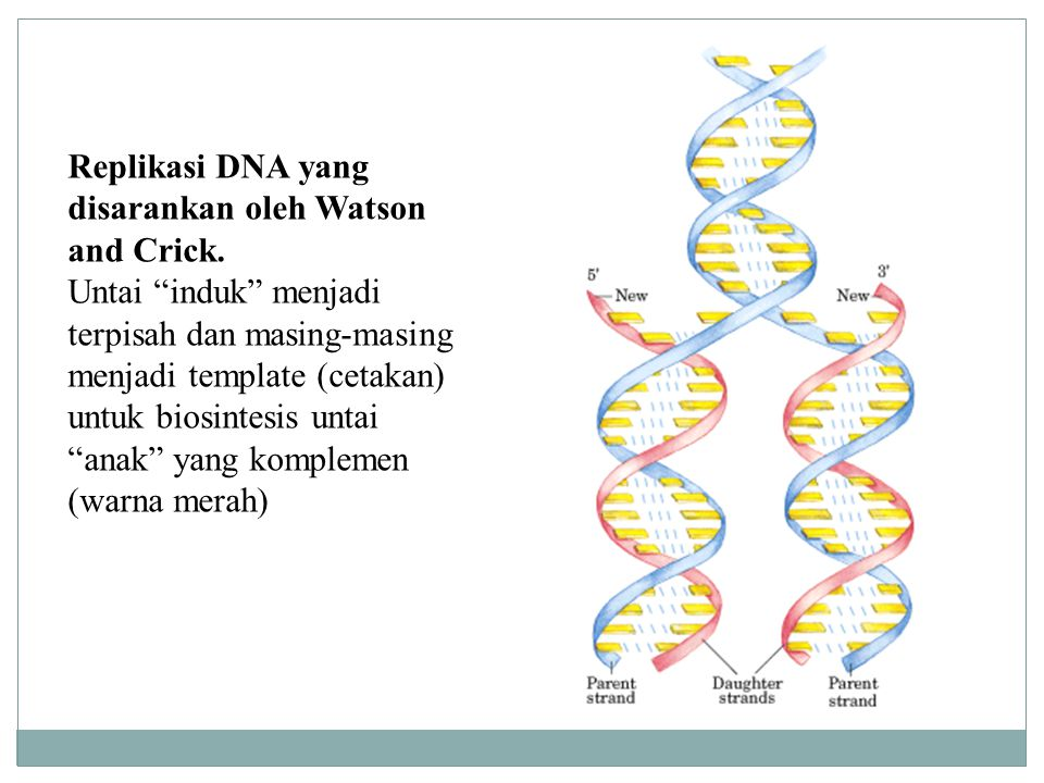 """Replikasi DNA yang disarankan oleh Watson and Crick. Untai """"induk"""" menjadi terpisah dan masing-masing menjadi template (cetakan) untuk biosintesis unt"""
