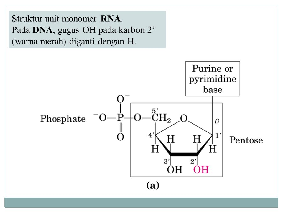 Struktur unit monomer RNA. Pada DNA, gugus OH pada karbon 2' (warna merah) diganti dengan H.