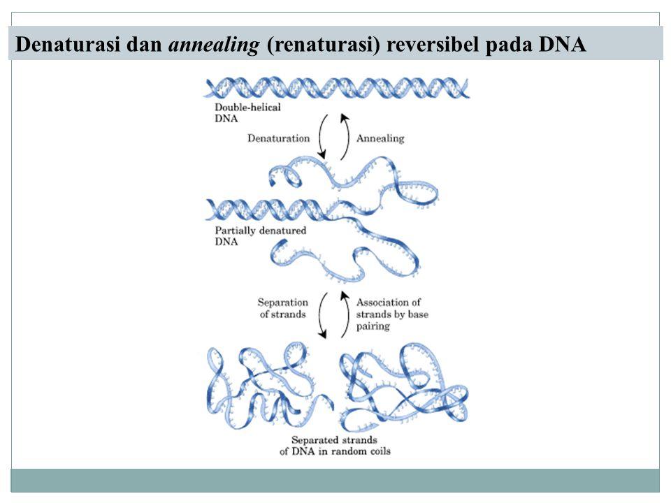 Denaturasi dan annealing (renaturasi) reversibel pada DNA