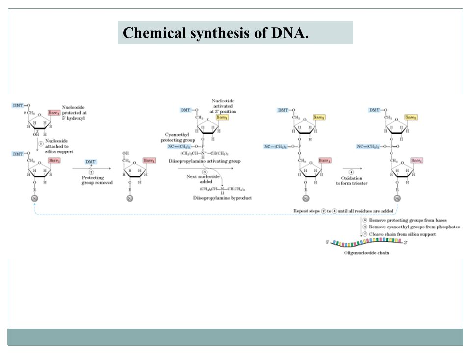 Chemical synthesis of DNA.