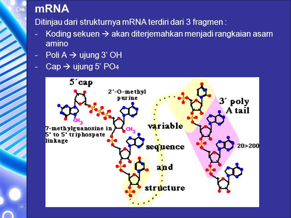 mRNA Ditinjau dari strukturnya mRNA terdiri dari 3 fragmen : -Koding sekuen  akan diterjemahkan menjadi rangkaian asam amino -Poli A  ujung 3' OH -C