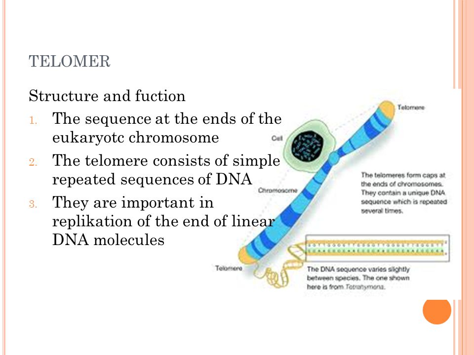 TELOMER Structure and fuction 1. The sequence at the ends of the eukaryotc chromosome 2. The telomere consists of simple repeated sequences of DNA 3.