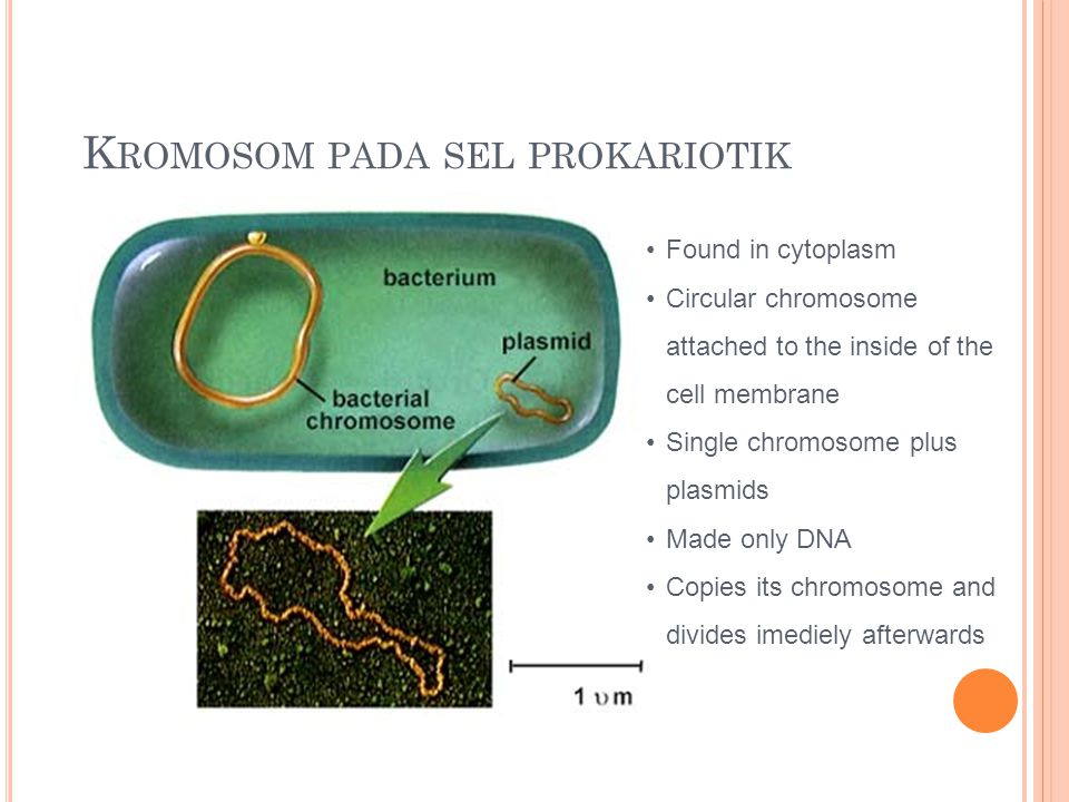 K ROMOSOM PADA SEL PROKARIOTIK Found in cytoplasm Circular chromosome attached to the inside of the cell membrane Single chromosome plus plasmids Made