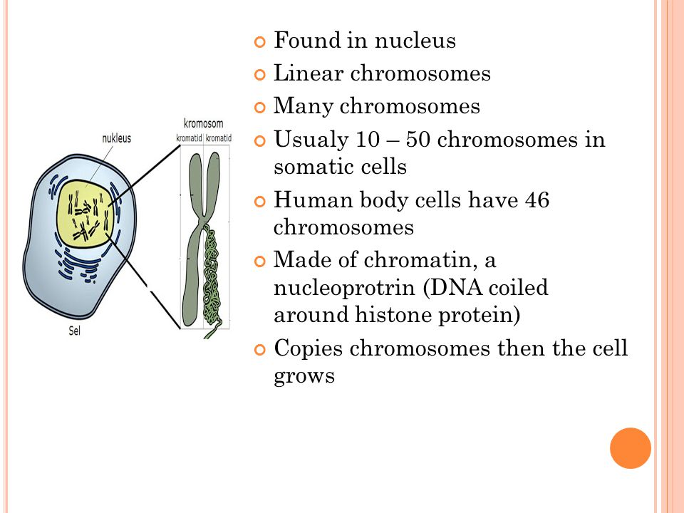 Found in nucleus Linear chromosomes Many chromosomes Usualy 10 – 50 chromosomes in somatic cells Human body cells have 46 chromosomes Made of chromati