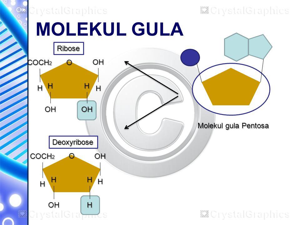 MOLEKUL GULA Molekul gula Pentosa Ribose Deoxyribose O O COCH 2 OH OH OH OHOH H H H H H H H H H