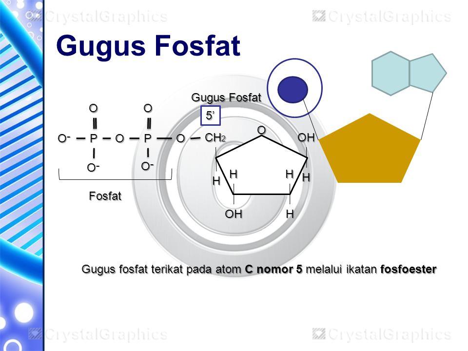 Gugus Fosfat O CH 2 OH OH H H H H H OPP O־O־O־O־ OO O־O־O־O־ O־O־O־O־O Fosfat 5' Gugus fosfat terikat pada atom C nomor 5 melalui ikatan fosfoester