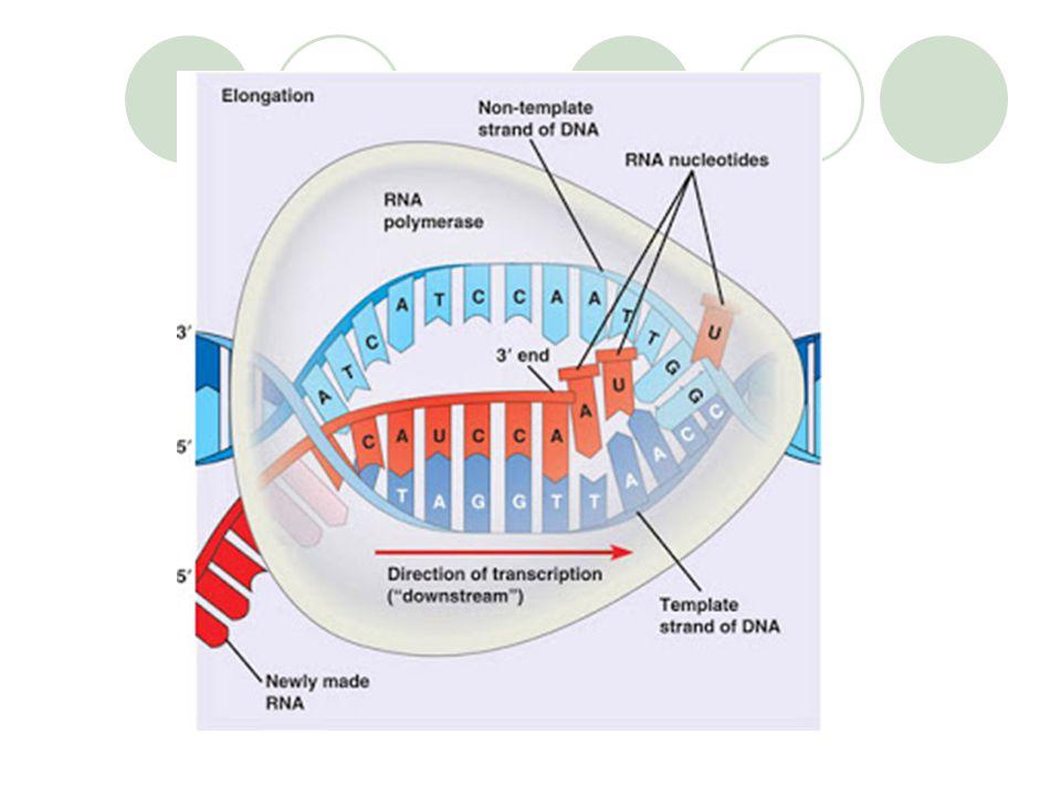 Transkripsi Produk Transkripsi mRNA (messenger RNA) : salinan kode genetik pada DNA' yang pada proses translasi akan diterjemahkan menjadi urutan asam