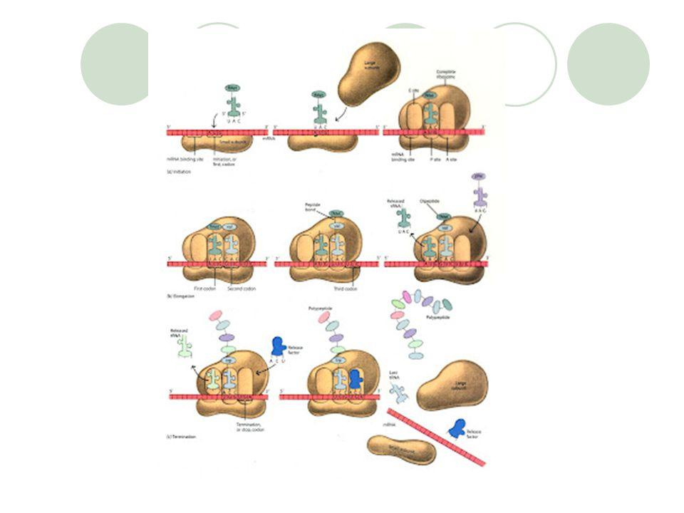 Elongasi Asam amino-asam amino ditambahkan satu per satu pada asam amino pertama (metionin). Ribosom terus bergeser agar mRNA lebih masuk, guna membac