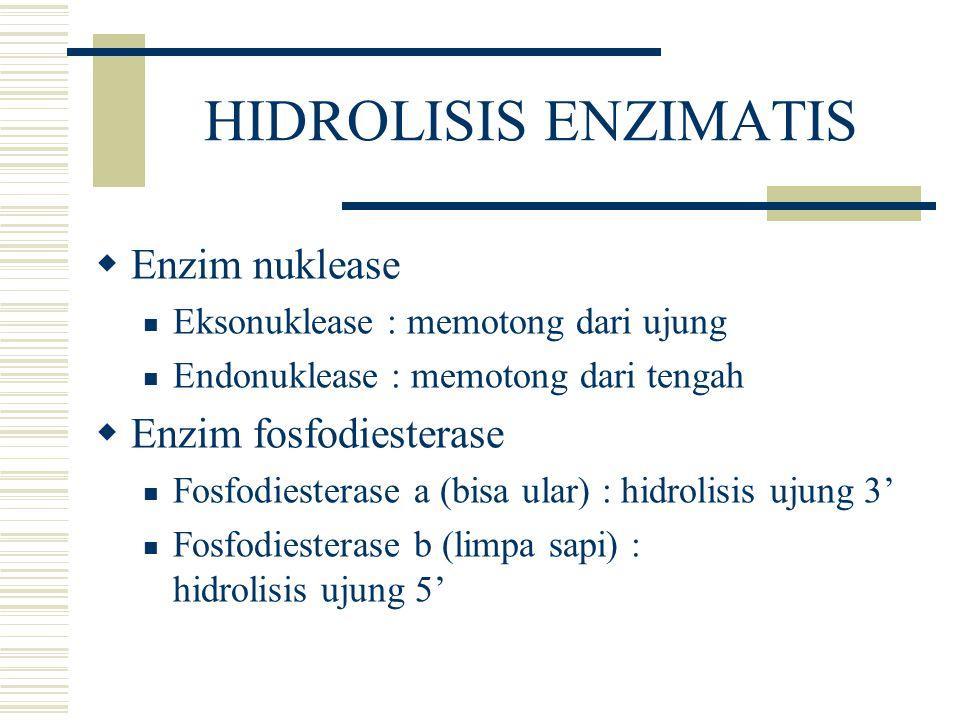 HIDROLISIS ENZIMATIS  Enzim nuklease Eksonuklease : memotong dari ujung Endonuklease : memotong dari tengah  Enzim fosfodiesterase Fosfodiesterase a
