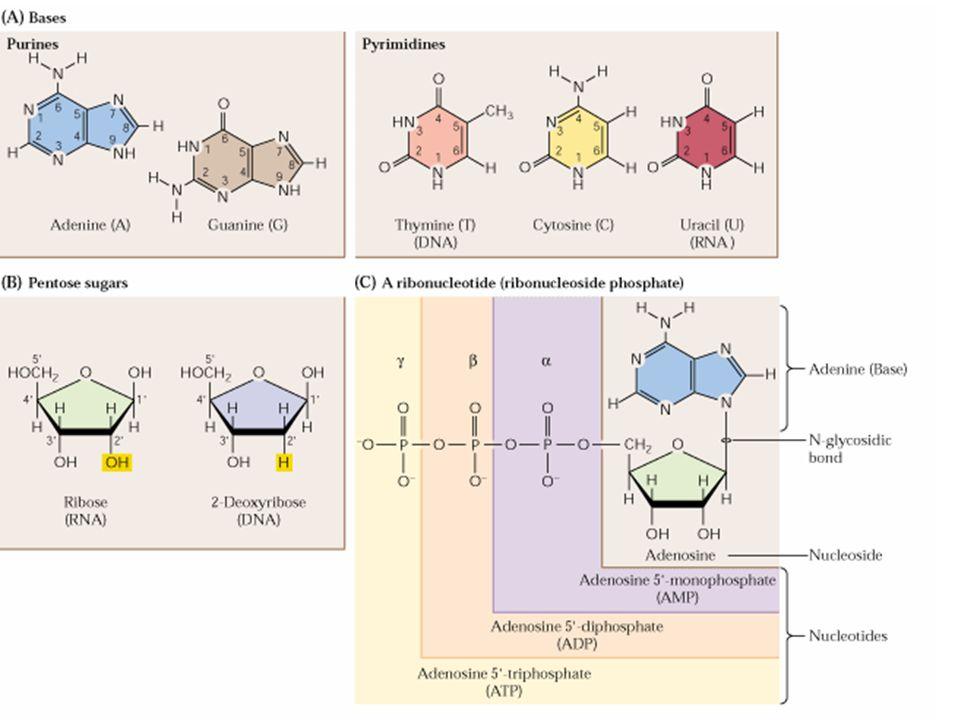 KLASIFIKASI BasaNukleosidaNukleotidaAsam Nukleat PURIN AdeninAdenosinAdenilat (A)RNA DeoksiadenosinDeoksiadenilat (dA)DNA GuaninGuanosinGuanilat (G)RNA DeoksiguanosinDeoksiguanilat (dG)DNA PIRIMIDIN SitosinSitidinSitidilat (C )RNA DeoksisitidinDeoksisitidilat (dC)DNA UrasilUridinUridilat (U)RNA TiminDeoksitiminDeoksitimidilat (dT)DNA