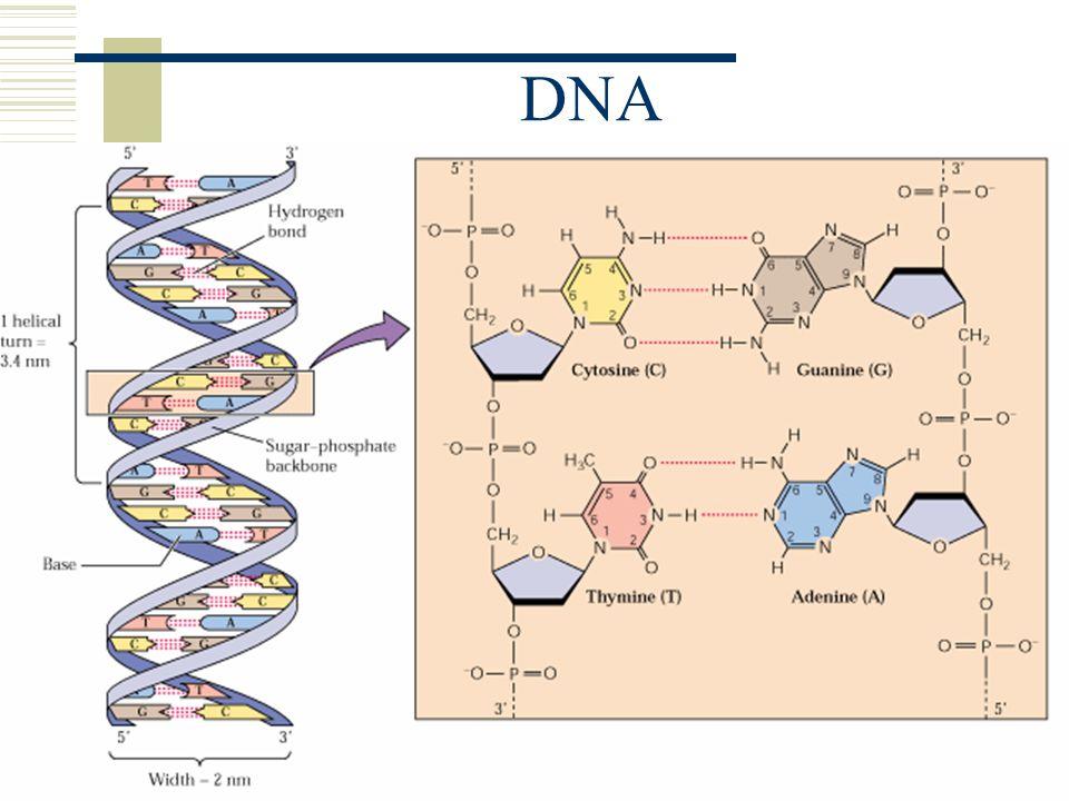 TEKNOLOGI DNA  PCR (Polymerase Chain Reaction) Pembuatan duplikat DNA  DNA rekombinan Produksi insulin, GH, antibodi, interferon dll dengan bantuan bakteri  Forensik DNA fingerprinting  menentukan pelaku kejahatan DNA footprinting  menentukan garis keturunan  Human Genome Project Mengidentifikasi dan menghilangkan penyakit genetik