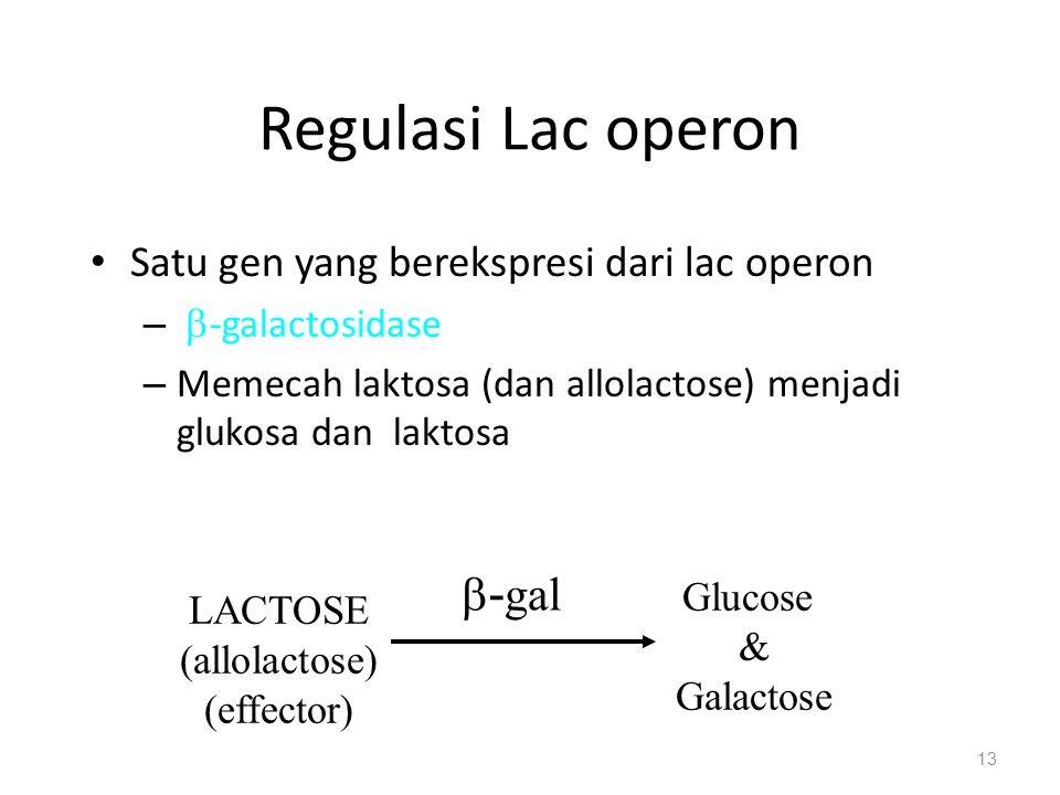 Regulasi Lac operon Satu gen yang berekspresi dari lac operon –  -galactosidase – Memecah laktosa (dan allolactose) menjadi glukosa dan laktosa 13 LACTOSE (allolactose) (effector) Glucose & Galactose  - gal