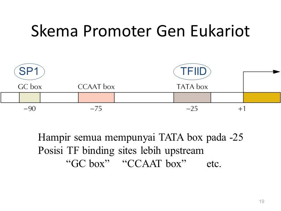 """Skema Promoter Gen Eukariot 19 Hampir semua mempunyai TATA box pada -25 Posisi TF binding sites lebih upstream """"GC box""""""""CCAAT box"""" etc. SP1TFIID"""