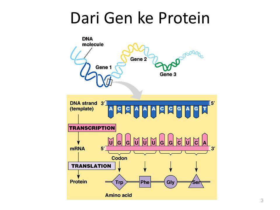 Dari Gen ke Protein 3