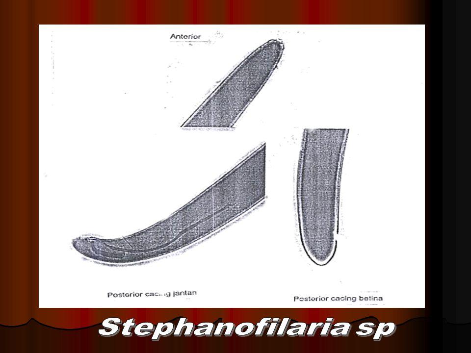 Ordo: Spirurida Ciri-ciri: Ciri-ciri: Esofagus 2 regio: Esofagus 2 regio:  anterior: regio muskuler  anterior: regio muskuler  posterior: regio glanduler  posterior: regio glanduler Parasit pd vertebrata Parasit pd vertebrata Siklus hidup: indirect, dg induk semang antara (ISA): Arthropoda Siklus hidup: indirect, dg induk semang antara (ISA): Arthropoda Famili yg penting: Spiruridae, Famili yg penting: Spiruridae, Thelaziidae Thelaziidae Acuariidae Acuariidae