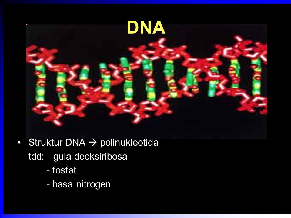 DNA  3 komponen dasar Gula  C5 (pentosa)  deoksiribosa dengan 1 atom H pada C nomor 2 1, 2 atau 3 gugus fosfat pada atom C5' Basa N A dan G : cincin ganda (purin) T dan S / C : pirimidin