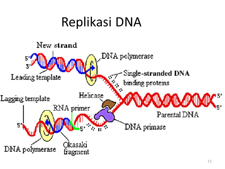 15 Replikasi DNA