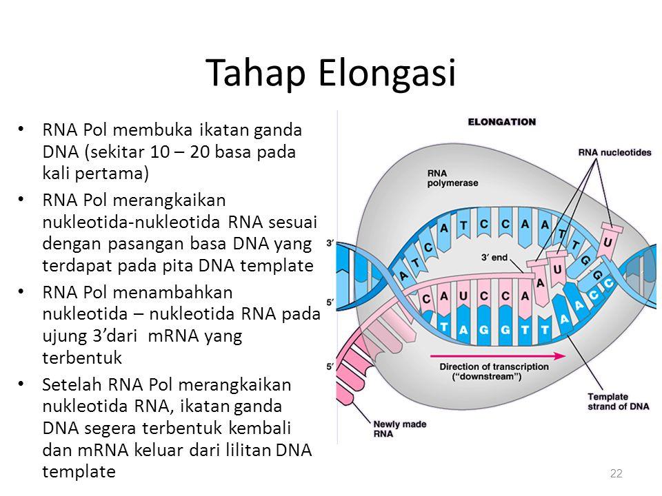 Tahap Elongasi RNA Pol membuka ikatan ganda DNA (sekitar 10 – 20 basa pada kali pertama) RNA Pol merangkaikan nukleotida-nukleotida RNA sesuai dengan