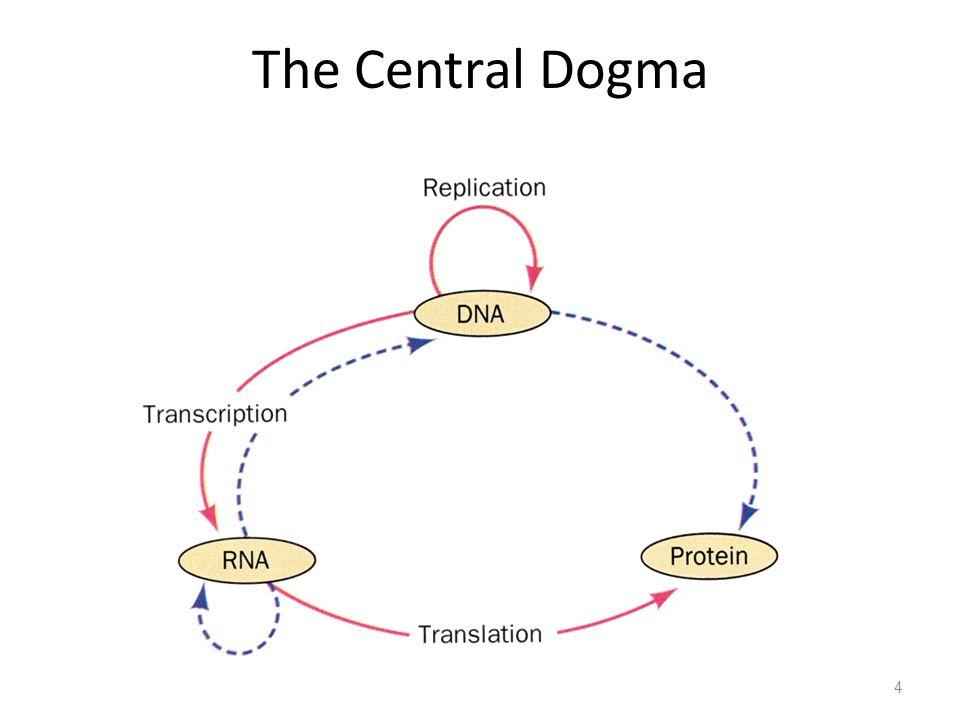 Translasi 35 5' 3' AUG UAA NH 2 COOH mRNA Protein Carboxy- Terminus Amino- Terminus