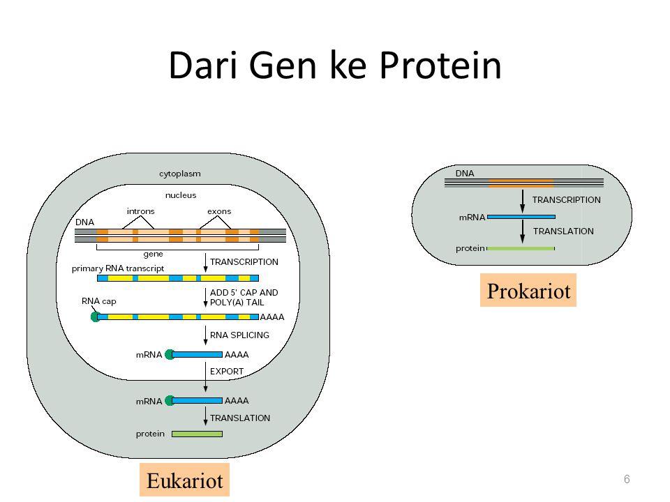 Processing mRNA eukariot Ujung 5' dimodifikasi dengan menambahkan Guanosin tri phosfat – Mencegah degradasi – Ribosome binding site Ujung 3' ditambahi nukleotida adenin 50 – 250 (poly A tail) – Mencegah degradasi – Membantu export 27
