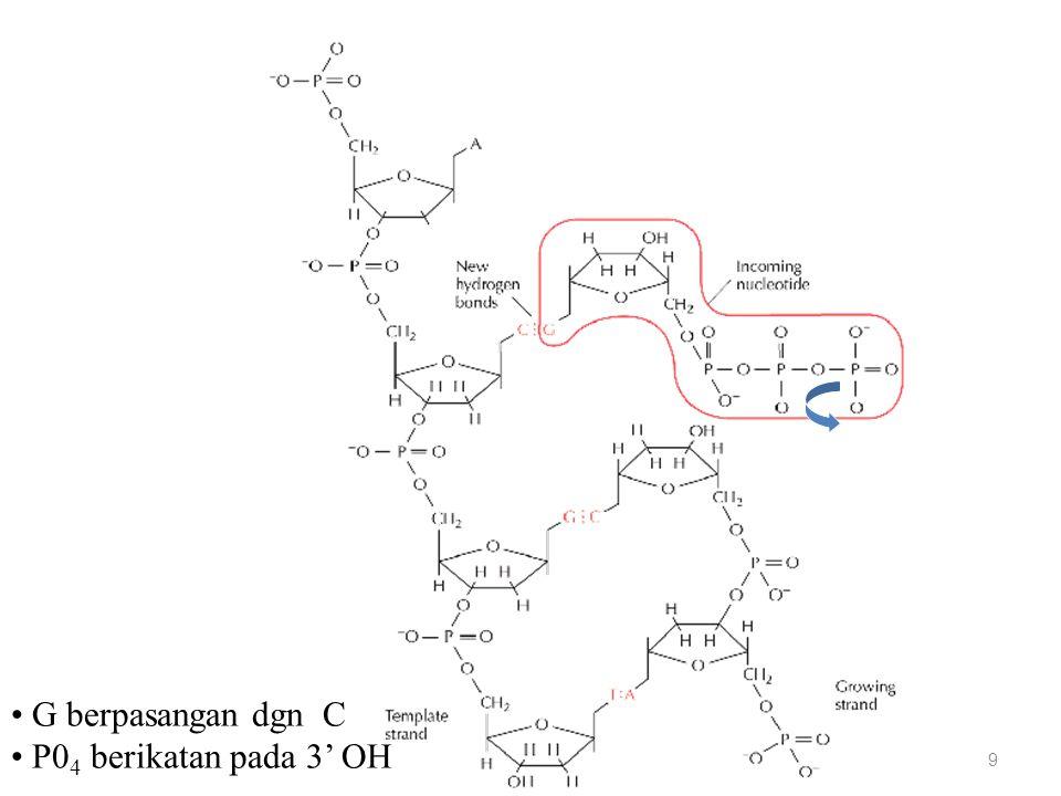 Replikasi DNA: datangnya nukleotida 10 3' 5' T berpasangan dgn A P0 4 berikatan pada 3' OH